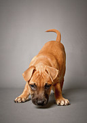 One Animal Posters - Small Puppy Looking At Camera Poster by Square Dog Photography