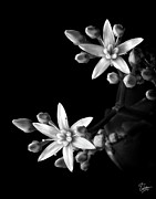 Flower Photos Posters - Small Sedum in Black and White Poster by Endre Balogh