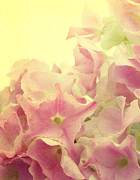 Hydrangea Photos - Small Stars by Kristin Kreet
