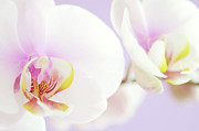 Moth Orchid Photos - Small Things by Dhmig Photography