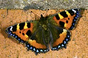 Tortoiseshell Prints - Small Tortoiseshell Butterfly Print by Dr Keith Wheeler