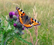 Bud Photo Prints - Small Tortoiseshell Butterfly Print by Photo by Suzanne Rowcliffe (suzanne.rowcliffe@gmail.com)