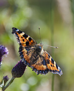 Elaine Hillson - Small Tortoiseshell
