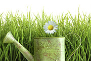 Lawn Posters - Small watering can with tall grass against white Poster by Sandra Cunningham