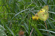 Animals - Small Yellow Butterfly by Robert Ullmann