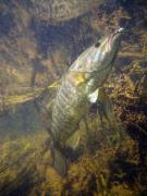 Wade Fishing Metal Prints - Smallmouth Against Weeds Metal Print by Ron Kruger