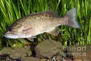 Freshwater Fish Posters - Smallmouth Bass Micropterus Dolomieu Poster by Ted Kinsman