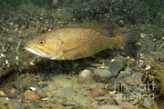 Smallmouth Bass Photos - Smallmouth Bass Protecting Eggs by Ted Kinsman