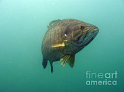 Smallmouth Bass Photos - Smallmouth Bass by Ted Kinsman