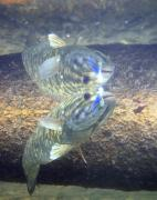 Wade Fishing Photos - Smallmouth Reflections by Ron Kruger