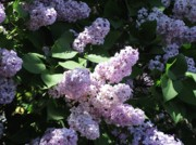 Lilacs Photos - Smell the Lilacs by Joyce  Kimble Smith