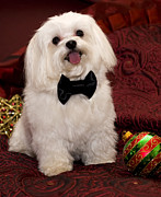 White Maltese Photos - Smile by Leslie Leda