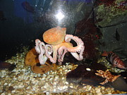 Octopuses Photos - Smile Please  by Sunil Bhardwaj