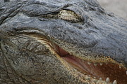Aligator Close-up Pyrography Posters - Smiley Aligator Poster by Valia Bradshaw