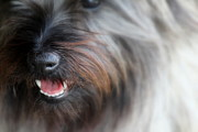 Cairn Terrier Photos - Smiley Face by Sally Dougherty