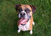 Boxer Posters - Smiling Boxer Dog Poster by Stephanie McDowell