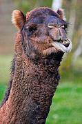 Camel Photo Metal Prints - Smiling Camel Metal Print by David  Naman