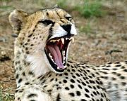 Cheetah Photo Originals - Smiling Cheetah by Charles  Ridgway