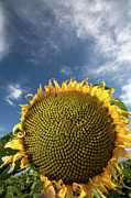 Sun Flower Prints - Smiling Face Print by Peter Tellone