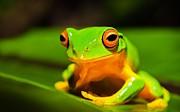Smiling Frog Print by Johan Larson