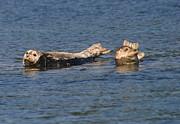 Smiling Seals Of Puget Sound Print by Kym Backland