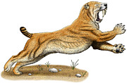 Smilodon Drawings - Smilodon Saber-Tooth Tiger by Roger Hall