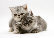 Jane Burton - Smoke And Silver Exotic Shorthair Kitten