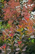 Green Foliage Posters - Smoke Bush (cotinus Sp.) Poster by Dr Keith Wheeler