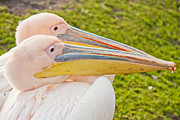 Couple Kissing Posters - Smooching White Pelicans Poster by Semmick Photo