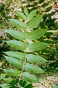Glabra Posters - Smooth Sumac Leaves Poster by Robert Ashworth
