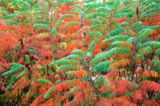 Red And Green Photo Metal Prints - Smooth Sumac Red and Green Leaves Metal Print by Thomas R Fletcher