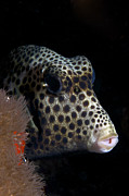 Hiding Photos - Smooth Trunkfish Playing Hide And Seek by Terry Moore