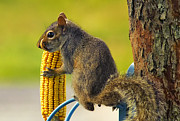 Corn Digital Art Prints - Snaggletooth Squirrel with Corn Print by Bill Tiepelman