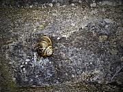 Irish Art - Snail at Ballybeg Priory County Cork Ireland by Teresa Mucha