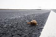 Half Shell Prints - Snail Crossing... Print by Carol Hathaway