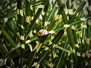 Culm Framed Prints - Snail On Miscanthus Framed Print by Nafets Nuarb