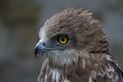 Eagle Photos - Snake Eagle 3 by Heiko Koehrer-Wagner