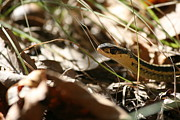 Nature Photography Prints - Snake in the Grass Print by Neal  Eslinger