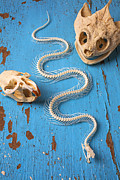 Vertebrate Framed Prints - Snake skeleton and animal skulls Framed Print by Garry Gay