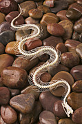 Reptile Photos - Snake skeleton  by Garry Gay