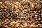 Sensory Perception Framed Prints - Snake Skin Framed Print by Abner Merchan