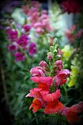Snapdragons Prints - Snap Print by Linda Mishler