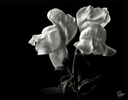 Flower Photos Posters - Snapdragons in Black and White Poster by Endre Balogh