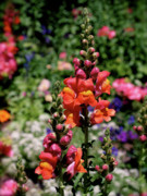 Sales Prints - Snapdragons Print by Rona Black