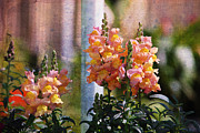 Snapdragons Prints - Snapdragons Print by Susanne Van Hulst