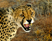 Acinonyx Jubatus Photos - Snarl by Alistair Lyne