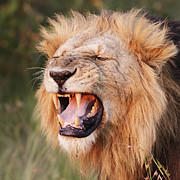 Lion Portrait Posters - Snarling Lion Poster by Richard Garvey-Williams