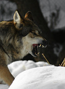 Wolves Photos - Snarling Wolf by Ernie Echols