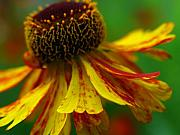 Cone Originals - Sneezeweed by Juergen Roth