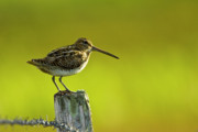 Gabor Pozsgai - Snipe sitting on...